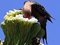 Melanerpes uropygialis-male feeds on Saguaro nectar.jpg