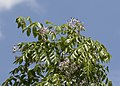 Melia azedarach - Chinaberrytree 02.jpg
