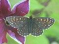 Melitaea diamina - False heath fritillary - Шашечница черноватая (41109121342).jpg