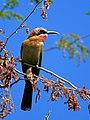 Merops bullockoides (Zambezi).jpg