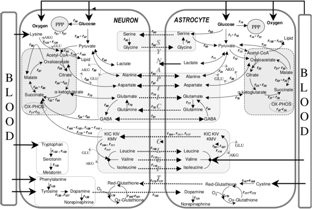 file metabolic interactions between astrocytes and neurons with major reactions png