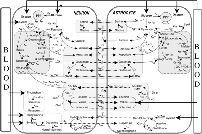 Metabolic interactions between astrocytes and neurons with major reactions.png