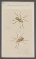 Micriphantes - Print - Iconographia Zoologica - Special Collections University of Amsterdam - UBAINV0274 068 04 0016.tif