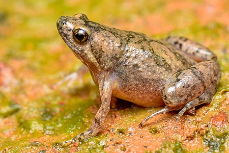 Microhyla kodial the Mangaluru narrow-mouthed frog, is a frog species belongs to Microhylidae family which is discovered in urban part of Mangalore recently.