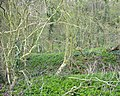 Middle Coppice - geograph.org.uk - 769120.jpg
