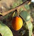 Mimusops elengi fruit 02.JPG