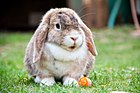 Miniature Lop - UK NL.jpg