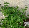 Mirabilis oxybaphoides 4.jpg