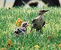 Mockingbird Feeding Chick014.jpg