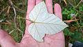 Molucca Bramble leaf underside (15932074779).jpg