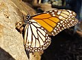 Monarch on a log (32495206722).jpg