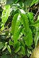 Monodora myristica-Jardin botanique Meise (4).jpg