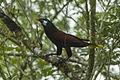Montezuma Oropendula - Sarapiqui - Costa Rica S4E0494 (26641477711).jpg