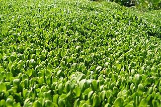<i>Montia fontana</i> species of plant