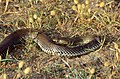 Montpellier Snake (Malpolon monspessulanus) male (36518943376).jpg