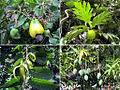 Montserrat Flora (5809289819).jpg