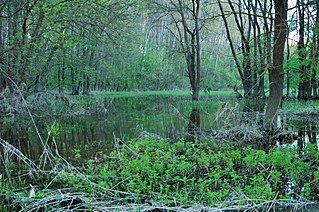 Freshwater swamp forest forest growing on an alluvial zone