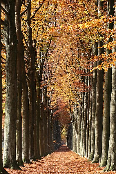Morlanwelz-Mariemont   (Belgium), the European beech walk linking Morlanwelz to Mariemont.