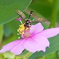 Mosca mimetizando vespa.jpg