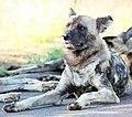Mosetlha, Madikwe Game Reserve, South Africa (39899451293).jpg