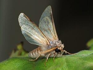 a male Pine Processionary moth (Thaumetopoea p...