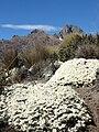 Mount Kenya helicrisum.jpg