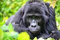 Mountain Gorilla, Bwindi, Uganda (15404633898).jpg