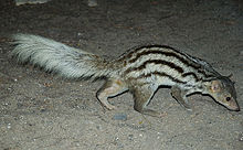 Malagasy ring-tailed mongoose videos, photos and facts - Galidia ...