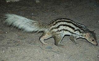 Grandidiers mongoose species of mammal