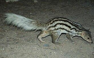 Galidiinae - Grandidier's mongoose (Galidictis grandidieri)