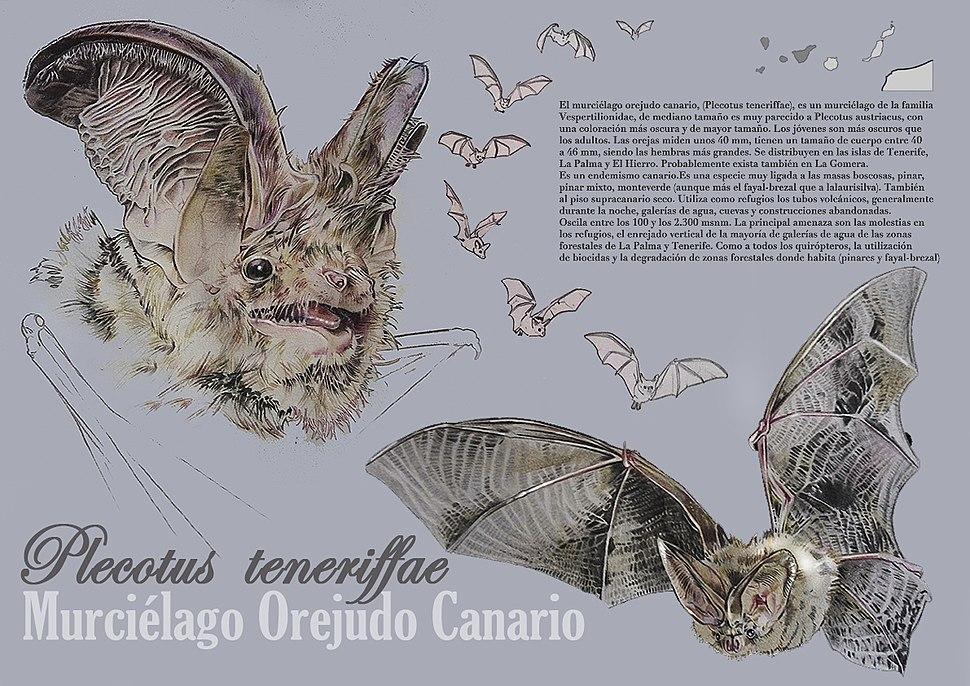 Murciélago Orejudo Canario - Aarón Rodríguez Díaz