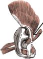 Musculushelicismajor.png