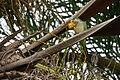 Myiopsitta monachus -USA-8c.jpg