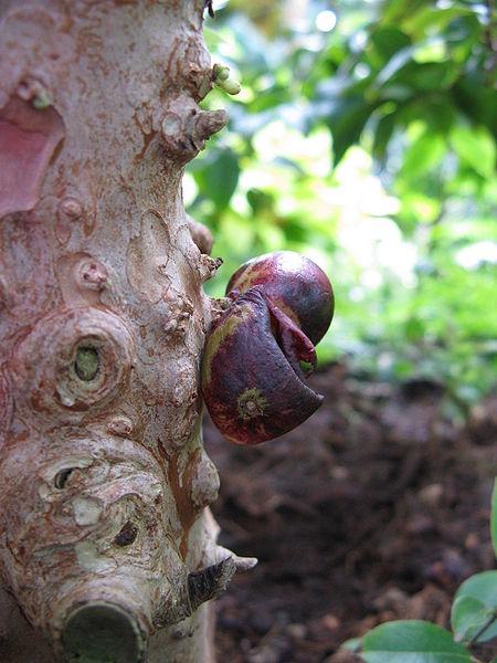 File:Myrciaria cauliflora3.jpg
