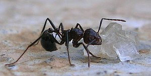 Myrmicaria brunnea - M. brunnea feeding on a sugar crystal