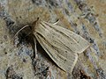 Mythimna straminea - Southern wainscot - Полосатая совка желтоватая (39266495780).jpg