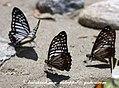 NE Pa Great Zebra 11 April 2008 Namdapha (2485097039).jpg