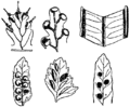 NSRW Filicales - Sori of various ferns.png