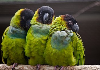 Three Nanday Parakeets (also known as the Blac...