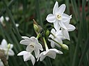 Narcissus white