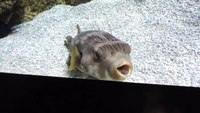 Файл:Narrow-lined pufferfish (Arothron manilensis) in Gijon Aquarium.webm