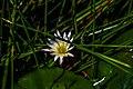 National Flower Sri Lanka.jpg
