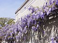 National Gallery of Art with Wisteria.jpg