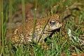 Natterjack Toad (Epidalea calamita) (7557521168).jpg