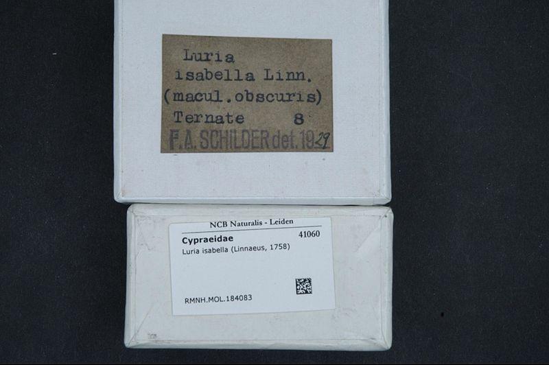 File:Naturalis Biodiversity Center - RMNH.MOL.184083 1 - Luria isabella (Linnaeus, 1758) - Cypraeidae - Mollusc shell.jpeg