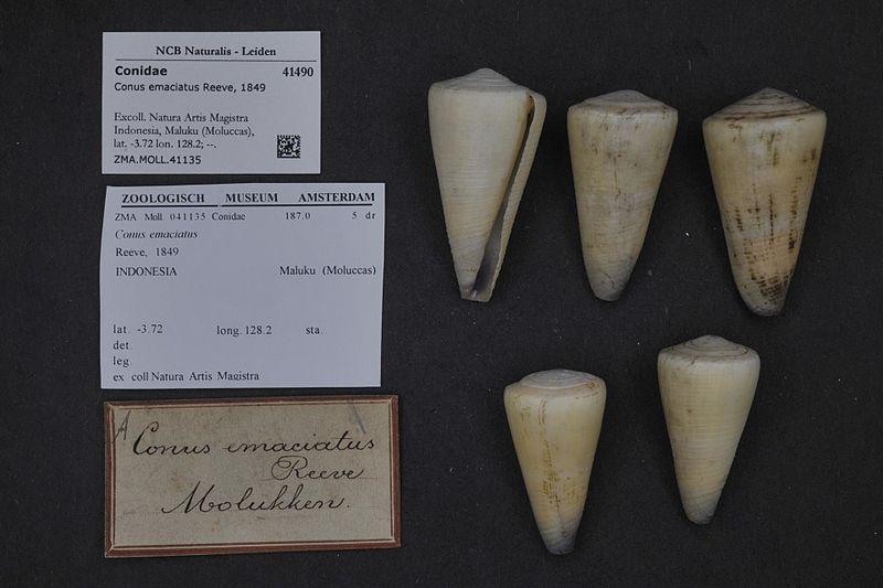 File:Naturalis Biodiversity Center - ZMA.MOLL.41135 - Conus emaciatus Reeve, 1849 - Conidae - Mollusc shell.jpeg
