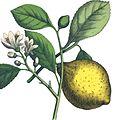 Naturgeschichte des Pflanzenreichs Tafel XXVII-Citrus limon.jpg