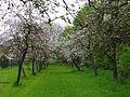 Naturstation Stammheimer Schlosspark hier Apfelbaumblüte Bild 1.JPG