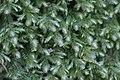 Neckera crispa (b, 144729-474810) 0222.jpg