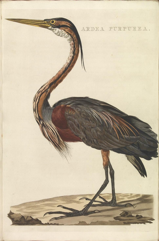 Nederlandsche vogelen (KB) - Ardea purpurea (352b)
